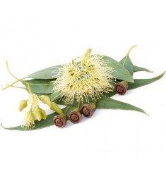 Huile essentielle Eucalyptus Mentholé (Dives)