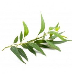 Huile essentielle Eucalyptus Radiata Bio