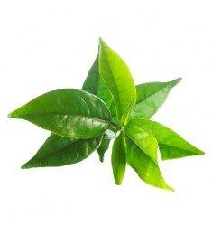 Huile essentielle Bio - Tea-Tree (Arbre à Thé)